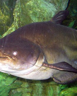Ikan Tapah, Ikan Monster dari Kalimantan