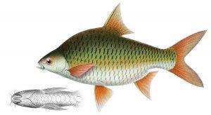 Manfaat dan Khasiat Ikan Lampan