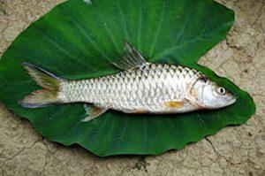 Manfaat dan Khasiat Ikan Kancra