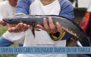 Umpan Ikan Gabus