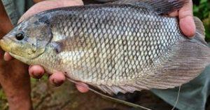 Umpan Jitu untuk Mancing Ikan Gurame