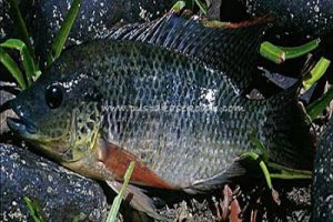 Umpan Ikan Mujair Paling Manjur