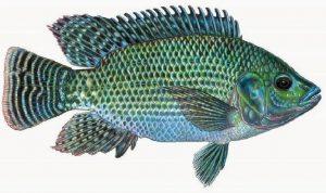 Umpan Ikan Mujair Top